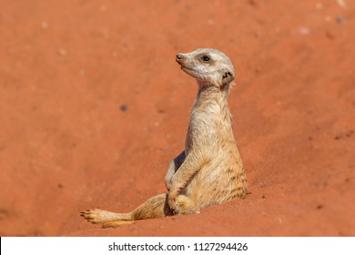 Meerkat sentinel on red sand (Suricata suricatta), Kalahari desert, Namibia