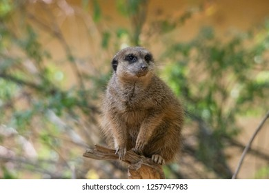 A meerkat sits on a branch watching the environment