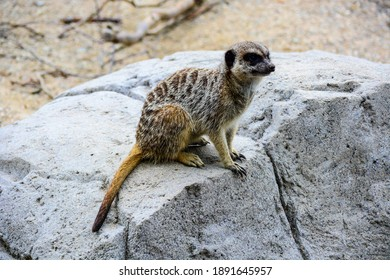 The meerkat sitting on a stone. World Wildlife Day, nature conservation, ecology concept.