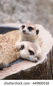 Meerkat sleeping in log.