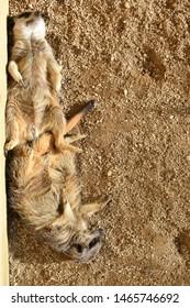 meerkat sleeping in the sun on the sand
