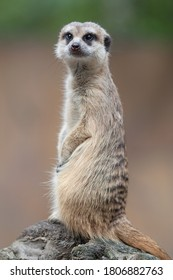 Meerkat - a small cute animal that lives in large colonies. It lives in Africa. The hero of many cartoons.