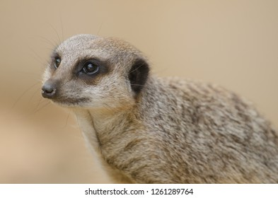 A meerkat solo in its territory