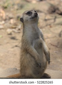 Meerkat standing