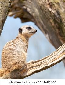 Meerkat standing guard on a tree branch