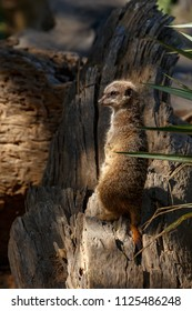 Meerkat standing and looking to the side
