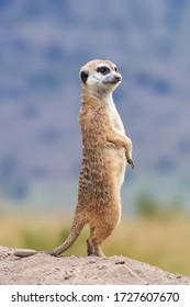Meerkat standing looking for something.  Suricata suricatta wild predators in natural environment. Wildlife scene from nature