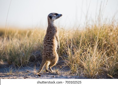 Meerkat standing in the Makgadikgadi Pans in Botswana, Africa.