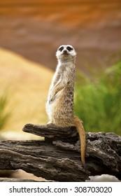 meerkat standing on guard