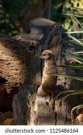 Meerkat standing on a piece of bark and looking to the side
