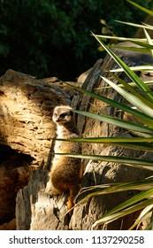 Meerkat standing and turning around