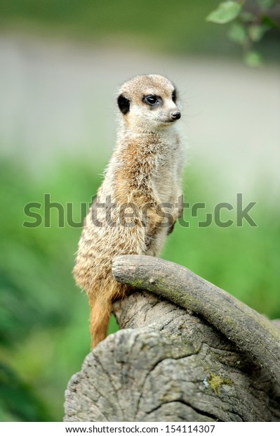 Meerkat standing upright and looking alert