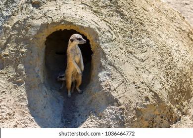Meerkat stands near the burrow