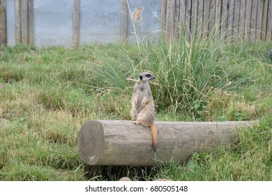A meerkat stands on a log