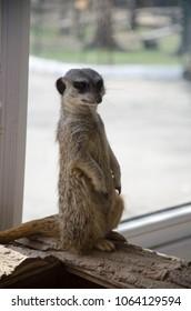 Meerkat stands still