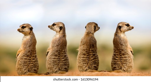 MEERKAT suricata suricatta, ADULTS LOOKING AROUND, SITTING ON SAND, NAMIBIA