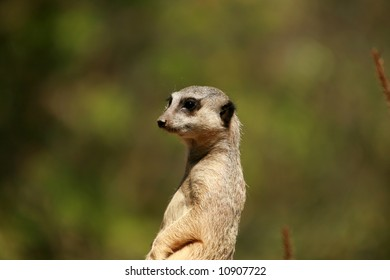 "Meerkat ""Suricata suricatta"" enjoy life in the sun and keep a look out for predators"