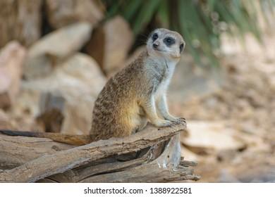 Meerkat (Suricata suricatta) guarding on a branch