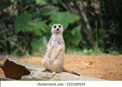 Meerkat (Suricata suricatta) is guarding the territory