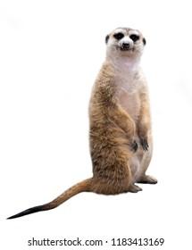meerkat ( Suricata suricatta ) isolated on white background