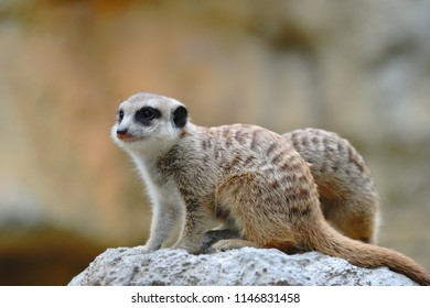 Meerkat (Suricata suricatta) lives in groups of 20-50 in Kalahari and Namib Desert of Southern Africa. The small carnivora is primarily insectivorous, but also feeds on small vertebrates and egg.