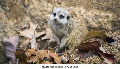 A meerkat (Suricata suricatta) looking around.