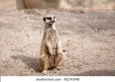 meerkat (Suricata suricatta) sitting on sand ground for guarding and safety
