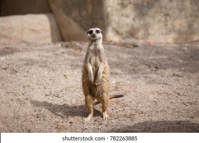 meerkat (Suricata suricatta) standing on sand ground for guarding and safety