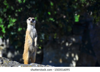 The meerkat (Suricata suricatta) or suricate is a small carnivoran in the mongoose family. Animal during hot summer day with green background.