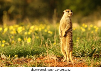 Meerkat (Suricata suricatta) Timon in Kalahari desert staying on red sand close to burrow watching around. Morning sun. Patrol. Meerkat with yellow flowers.