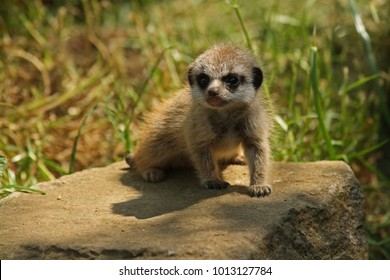 Meerkat (Suricata suricatta) youngster. Captive animal.