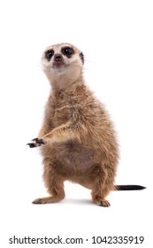 The meerkat or suricate cub, 2 month old, on white