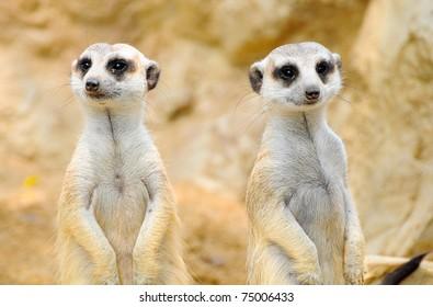 Meerkat or Suricate in Dusit Zoo, Thailand.