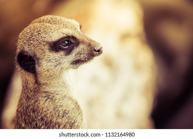 The meerkat or suricate is a small carnivoran belonging to the mongoose family.