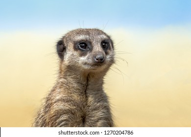 The meerkat or suricate is a small carnivoran belonging to the mongoose family. Meerkats live in Botswana,   Namibia and southwestern Angola, and in South Africa.