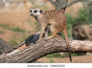 Meerkat or suricate is a small carnivoran belonging to the mongoose family