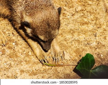 The meerkat or suricate is a small mongoose found in southern Africa, latin Suricata suricatta
