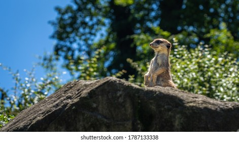 The meerkat or suricate is staying and looking around checking the territory for the predators.