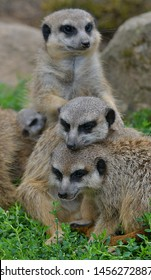 The meerkat or suricate (Suricata suricatta)