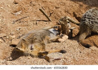 Meerkat - Suricate (Suricata suricatta)