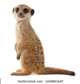 Meerkat or Suricate, Suricata suricatta, in front of white background