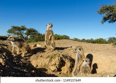Meerkat or suricate (Suricata suricatta). Kalahari at the entrance to their burrow. Northern Cape. South Africa.