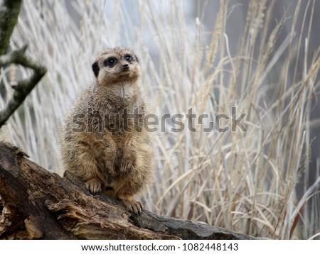 meerkat-suricate-suricata-suricatta-keep