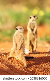 The meerkat or suricate (Suricata suricatta) patrolling near the hole. Meerkat standing in the morning sun with orher one in background.