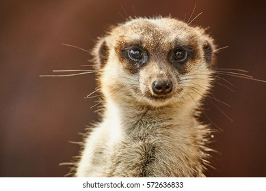 The meerkat or suricate (Suricata suricatta) is a small carnivoran belonging to the mongoose family (Herpestidae). It is the only member of the genus Suricata.