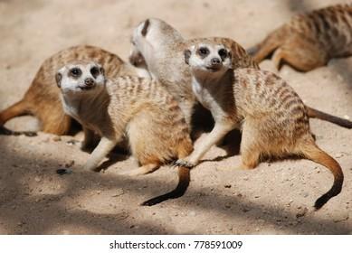 Meerkat. The meerkat or suricate (Suricata suricatta) is a small carnivoran belonging to the mongoose family (Herpestidae)