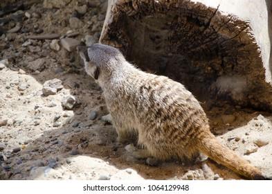 Meerkat takes sun bath