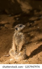 A meerkat watching the environment