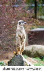 meerkat in zoo, looking around