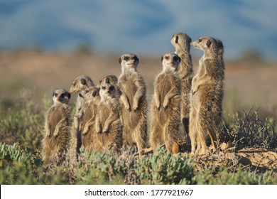 Meerkats family in South Africa